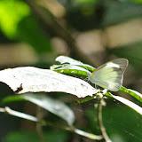 Glutophrissa drusilla drusilla (CRAMER, 1777), femelle. Patawa (Montagne de Kaw), 24 octobre 2012. Photo : J.-M. Gayman