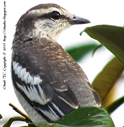 Female Pied Triller - On A Durian Tree