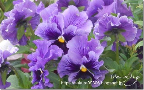 パンジー紫_R