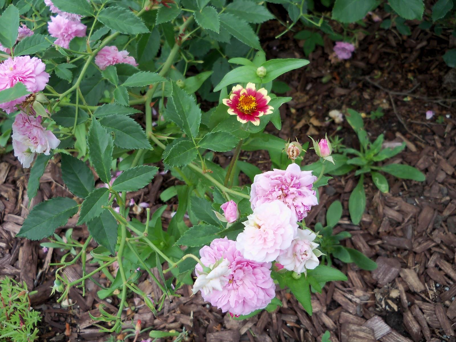 Gardening 2010, Part Two - 101_2408.JPG