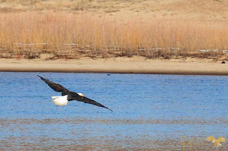 After release, this bald eagle spread its wings above the Wisconsin River to begin its second chance at life.