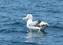 northern royal albatross.jpg