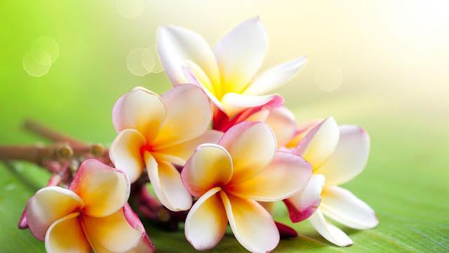 Fakta Menarik Bunga Melati untuk Menambah Wawasan  30 Fakta Menarik Bunga Melati Untuk Menambah Wawasan