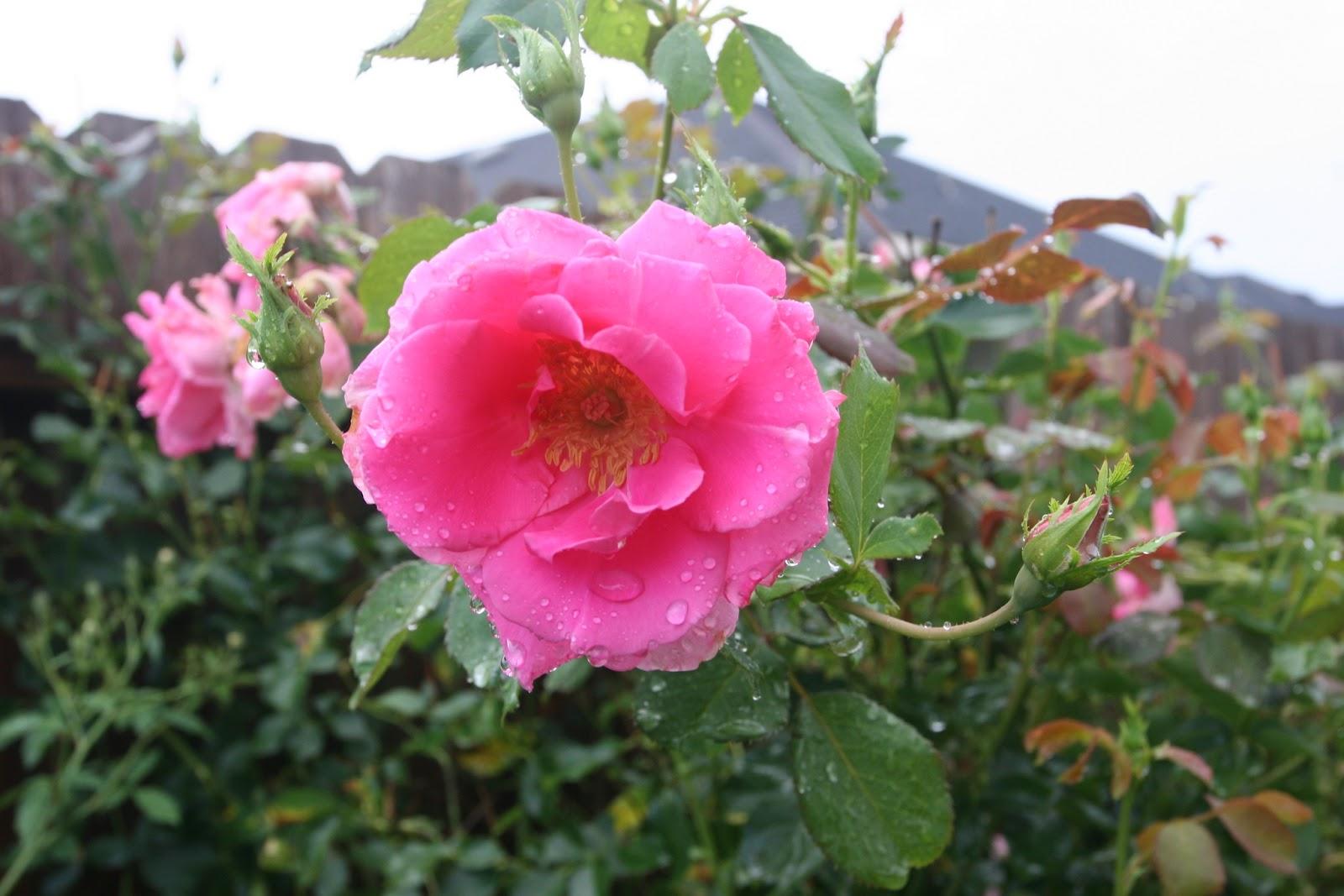 Gardening 2012 - IMG_3526.JPG