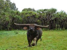 wildlife-water-buffalo-7.jpg