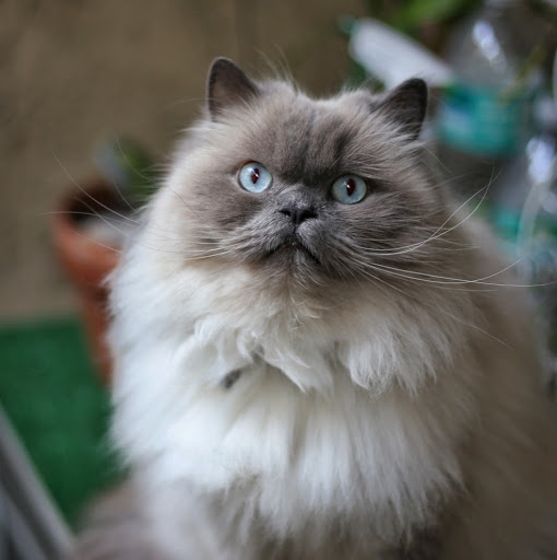 Yuki The Persian Himalayan