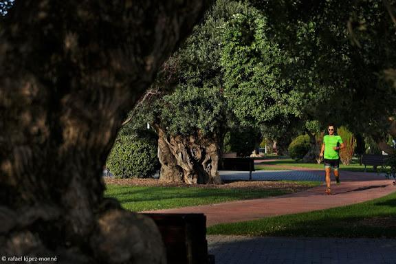 Oliveres monumentals del passeig 30 d'octubre. Oliveres mil·lenàries. Salou, Tarragonès, Tarragona