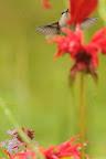 JARDIN D?ÉDEN On trouve des colibris jusque dans l'Est canadien
