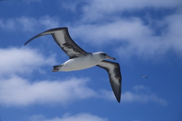 laysan-albatross-848343_640