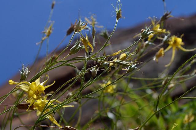 yellow columbines