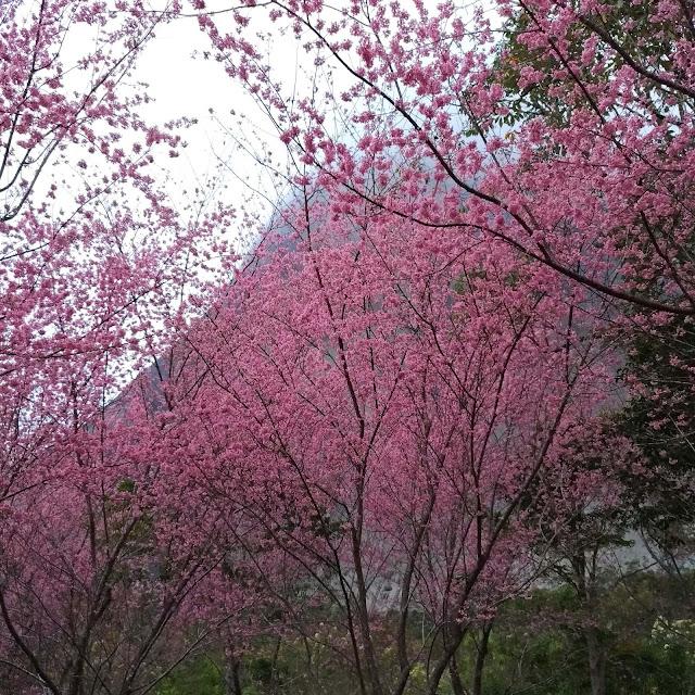 Bosque de Cerejeiras em Pedra Azul, ES.