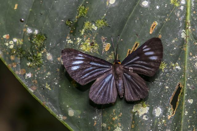 Pheles strigosa strigosa (Staudinger, 1876). Cupiagua, 720 m (Casanare, Colombie), 5 novembre 2015. Photo : B. Lalanne-Cassou