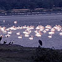 69 pelican.jpg
