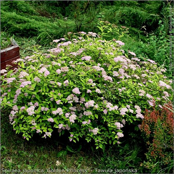 Spiraea japonica 'Golden Princess' - Tawuła japońska  pokrój kwitnącej rośliny.