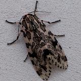 Arctiinae : Phaegoptera sp (?). Environs de Curitiba, Paraná. 23 décembre 2010. Photo : Mauricio Skrock