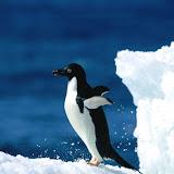 Ready For Takeoff!, Adelie Penguin.jpg