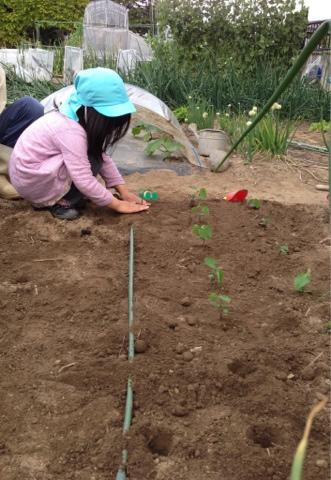 畑に枝豆を植える幼児