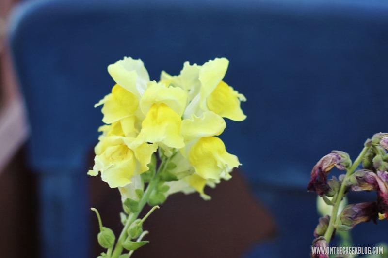 flowers   snapdragon