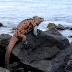 Marine Iguana - Galapagos