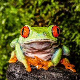 Red eyed tree frog by Garry Chisholm - Animals Amphibians ( red eyed, macro, nature, tree frog, amphibian, garry chisholm )
