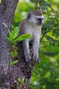 Vervet Baby, Zambia