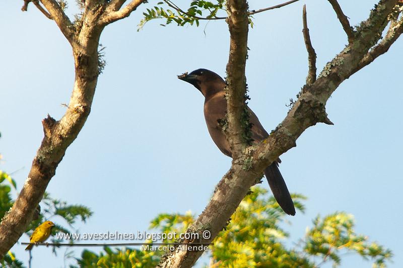 Urraca morada (Purplish Jay)