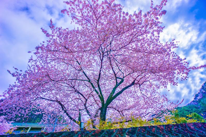 河口湖 桜 写真6