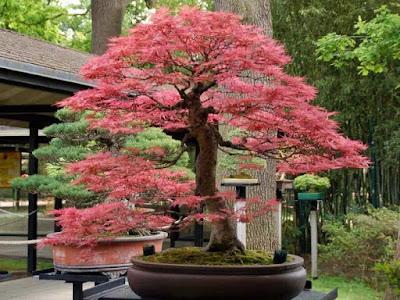 Bonsai pagoda
