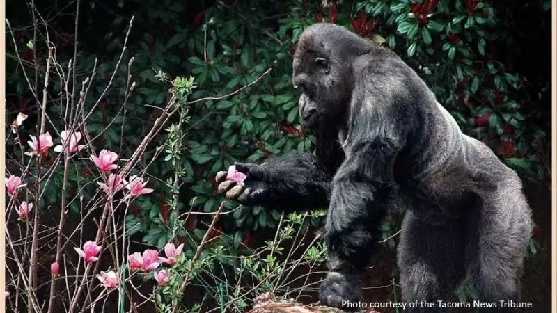 gorilla ivan