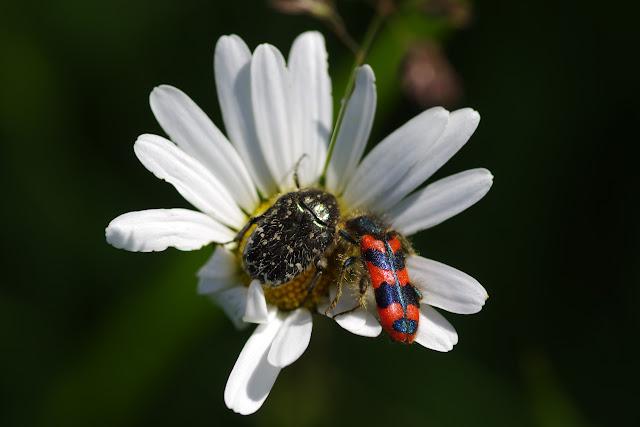 Cetoniidae : Oxythyrea funesta Poda, 1761, et Cleridae : Trichodes alvearius Fabricius, 1792. Les Hautes-Lisières (Rouvres, 28), 1er juin 2015. Photo : J.-M. Gayman
