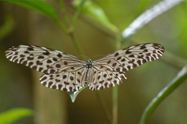Idea stolli virgo FRUHSTORFER, 1903. Lot n°2, Sukau (Sabah, Malaisie, Bornéo), 5 août 2011. Photo : J.-M. Gayman