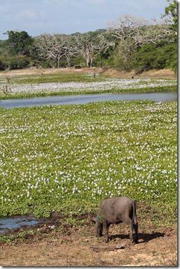 Шрі-Ланка, Яла, сафарі