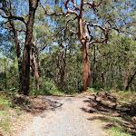 Tall trees beside Sid Pulsford Walking trail (236141)