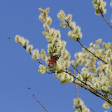 Inachis io L., 1758. Les Hautes-Lisières (Rouvres, 28), 22 mars 2012. Photo : J.-M. Gayman