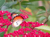 Common Tiger (Danaus genutia)