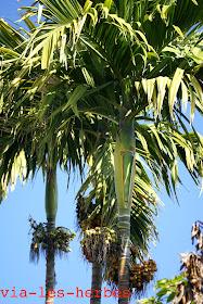 palmiers a sucre.jpg