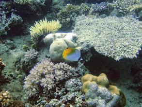 Photo: Chaetodon auriga (Auriga Butterflyfish), Naigani Island, Fiji