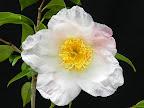 極淡桃色地 底白 一重 盃状咲き 先太りの筒しべ 中輪 有香