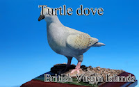 European turtle dove -Virgin Islands, GB-