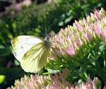 Grønåret kålsommerfugl2.jpg