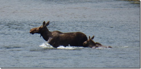 Moose and calf in river along Cassiar Highway