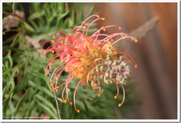 161115_FY_Grevillea-Superb_008