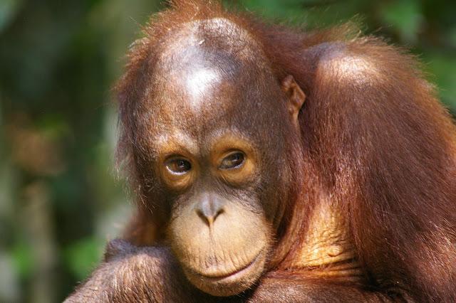 Orang-outan de Bornéo (Pongo pygmaeus). Sepilok, 10 août 2011. Photo : J.-M. Gayman