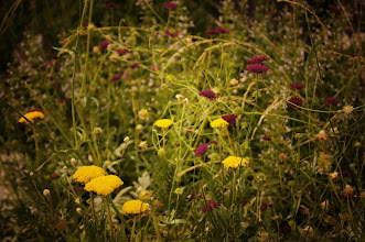 Photo: Wildflowers. High Line Park.   Chelsea, New York City.  View the writing that accompanies this post here at this link on Google Plus:  https://plus.google.com/108527329601014444443/posts/GK7wLTbvF5r  View more New York City photography by Vivienne Gucwa here:  http://nythroughthelens.com/