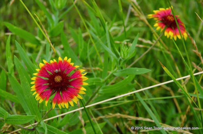05-26-14 Texas Wildflowers - IMGP1358.JPG