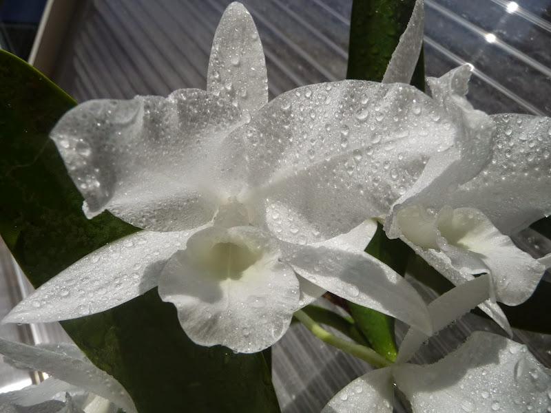 Guarianthe skinnerii f. alba P1190149