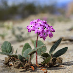 Песчаная вербена (sand verbena)
