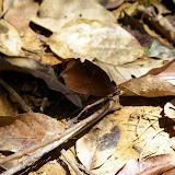 Orthoptera : Tettigoniidae : Pseudophyllinae : Pterochroza ocellata LINNAEUS, 1758. Crique Tortue, près de Saut Athanase (Guyane). 21 novembre 2011. Photo : J.-M. Gayman