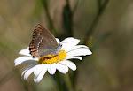 Lille slåensommerfugl, acaciae.jpg