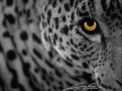 white_leopard.jpg